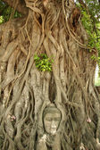 Buddhas head banyan tree — Stock Photo