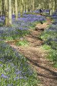 Bluebell woods ashridge — Stock Photo