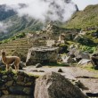 Alpaca machi picchu ruins peru - Stock Photo