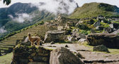 Alpaca machi picchu ruins peru — Stock Photo