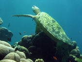 Sipadan green turtle — Stock Photo