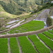 Rice terraces - Foto de Stock