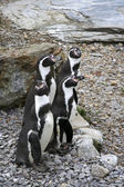 Humboldt penguins — Stock Photo