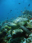Reef turtle — Stock Photo