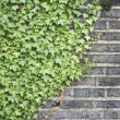 Ivy on a wall — Stock Photo