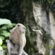 Batu caves monkey — Stock Photo