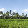 Stockfoto: Bali rice fields
