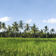 Foto Stock: Bali rice fields