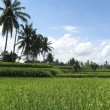 Ubud rice fields — Stock Photo