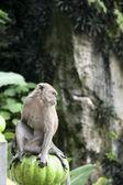 Batu caves monkey — Stock Photo