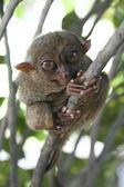 Bohol tarsier — Stock Photo