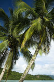 Palawan palms — Stock Photo