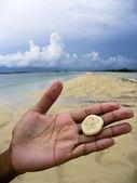Sand dollar — Stock Photo