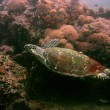 Reef turtle - Stock Photo