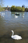 Swans on river thames windsor — Stock Photo