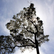 Huge tree silhouette - Stock Photo