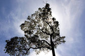 Huge tree silhouette — Stock Photo