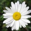 Daisy Flower — Stock Photo #2828398