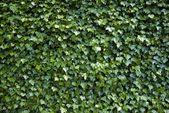 Wall covered with vegetation, — Stock Photo