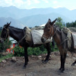 Stock Photo: Two burden horses in Kashmir.