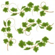 Vine - Stock Vector