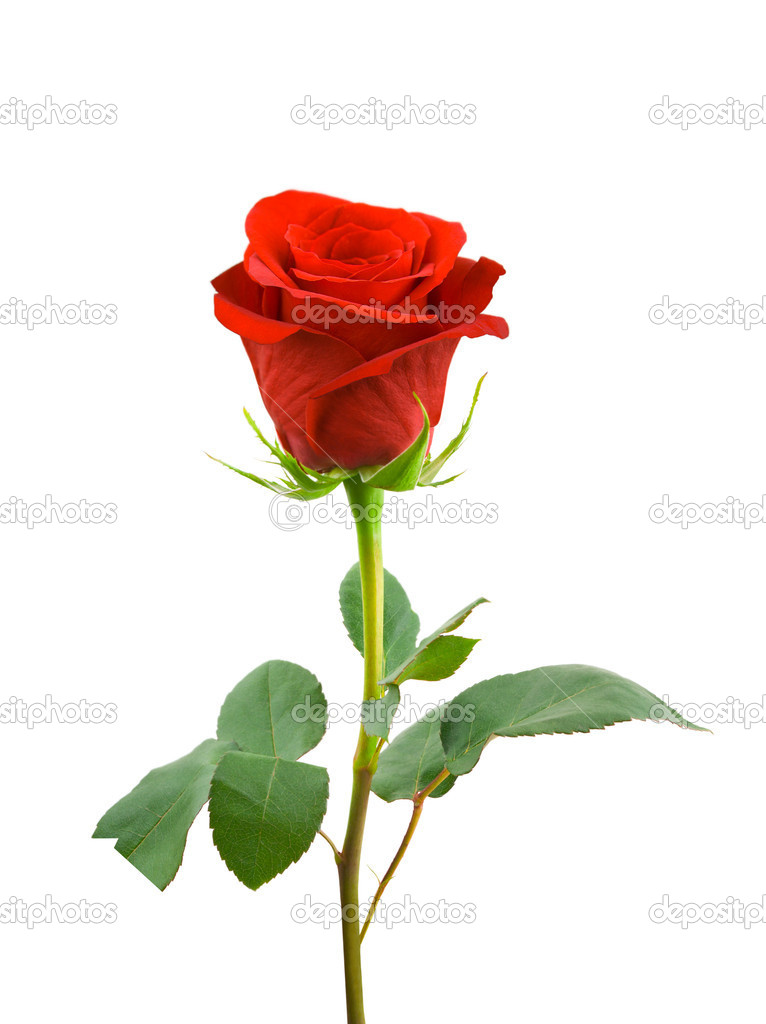 Lay down red rose isolated on white  Stock Photo #2809706