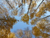 Golden birches in autumn — Stock Photo