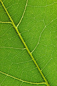 Leaf detail — Stock Photo