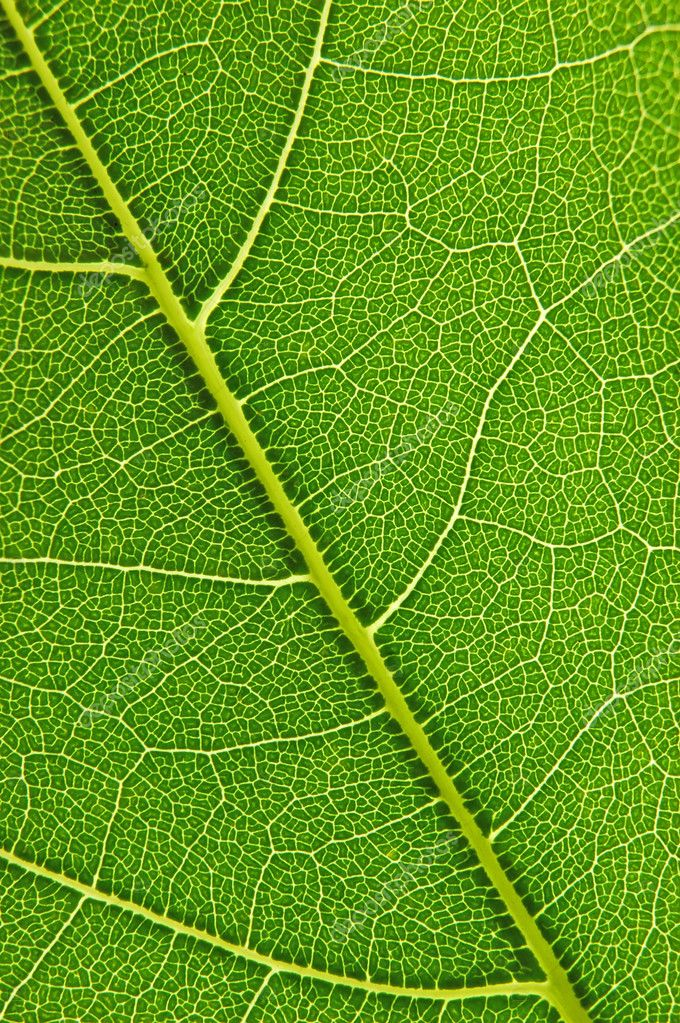 Closeup of a leaf with back lighting — Stock Photo #2769509