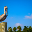 Pelican — Stock Photo