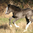 Black Irish Cob foal - Stock Photo