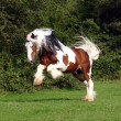 Sir Maverick - Irish Cob stallion — Stock Photo #2799969