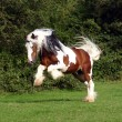 Sir Maverick - Irish Cob stallion — Stock Photo