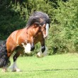 Tobie P Irish Cob stallion — Stock Photo #2799992