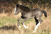 Black Irish Cob foal — Stock Photo