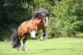 Tobie P Irish Cob stallion — Stock Photo