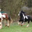 Irish Cob / Irish Tinker stallion — Stock Photo #2800026