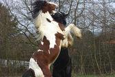 Stallion rears up — Stock Photo