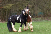 Two coulered stallions — Stock Photo