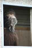 Camel in the window — Stock Photo