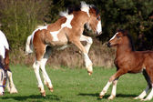 Flying foal — Stock Photo