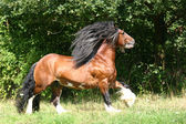 Irish Cob / Irish Tinker stallion — Stock Photo