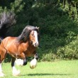 Irish Cob / Irish Tinker stallion — Stock Photo #2956100