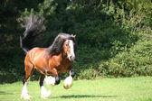 Irish Cob / Irish Tinker stallion — Stock Photo