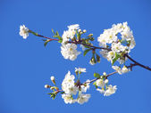 Apple-tree branch with flowers — Stock Photo