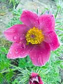 Blossom pasque-flower with rain drop — Stock Photo
