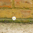 Single flower on brick wall — Stock Photo