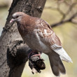 Wild pigeon - Stock Photo