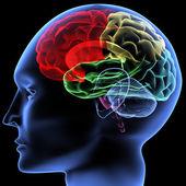 Beyin — Stok fotoğraf