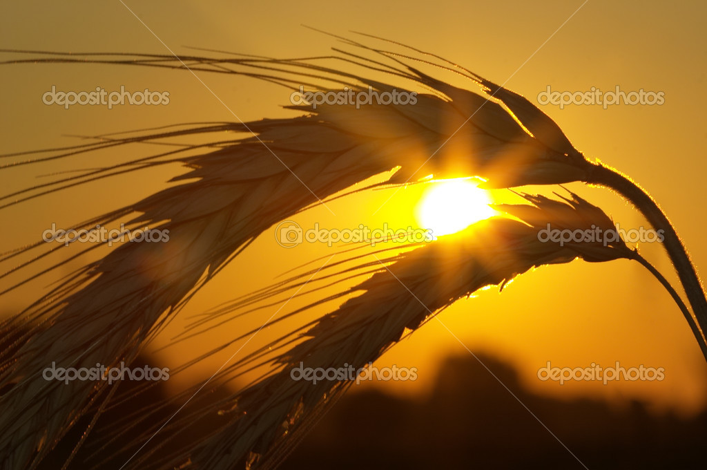 Silhouette of wheat on a sundown background — Stock Photo #3023446